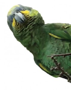 an image of Hilton The Parrot